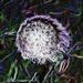 Dandelion clock (3)