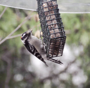 6th Apr 2020 - Downy Woodpecker at the Feeder