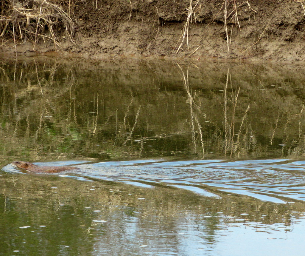 Beaver gliding through the water by bruni