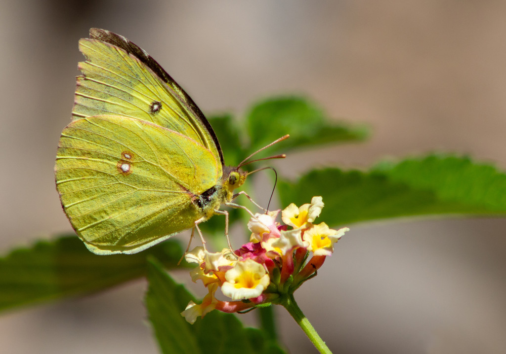 Sulphur Butterfly on Lantana by gaylewood