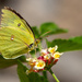 Sulphur Butterfly on Lantana