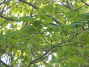 6th Apr 2020 - Maple Leaves