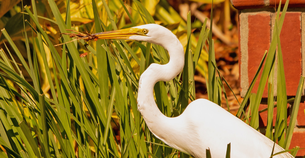 Egret Going for a Snack! by rickster549