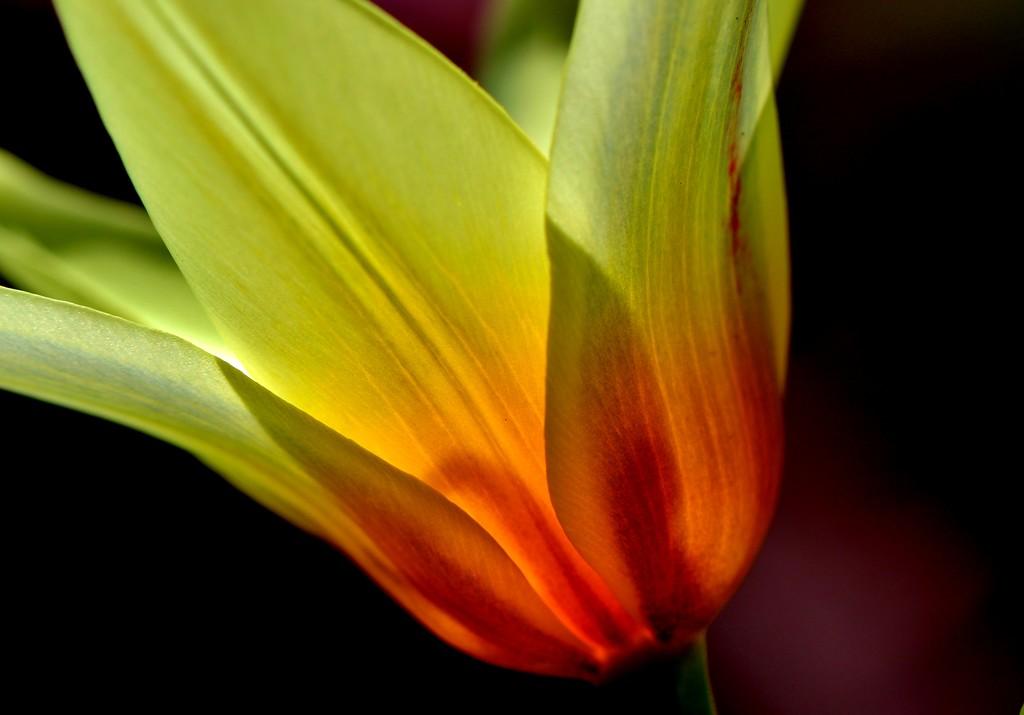 Tulip Cheer by lynnz