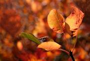 7th Apr 2020 - Autumn leaves