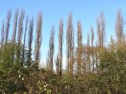 4th Apr 2020 - Poplar Trees