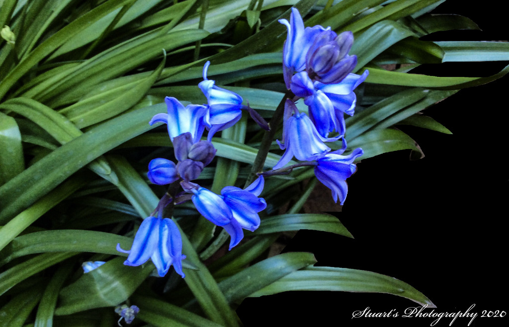 Cultivated bluebells  by stuart46