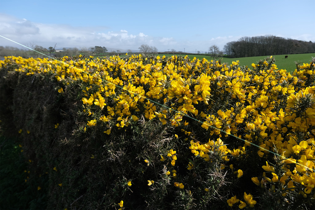 Combined Gorse by ellida