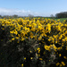 Combined Gorse