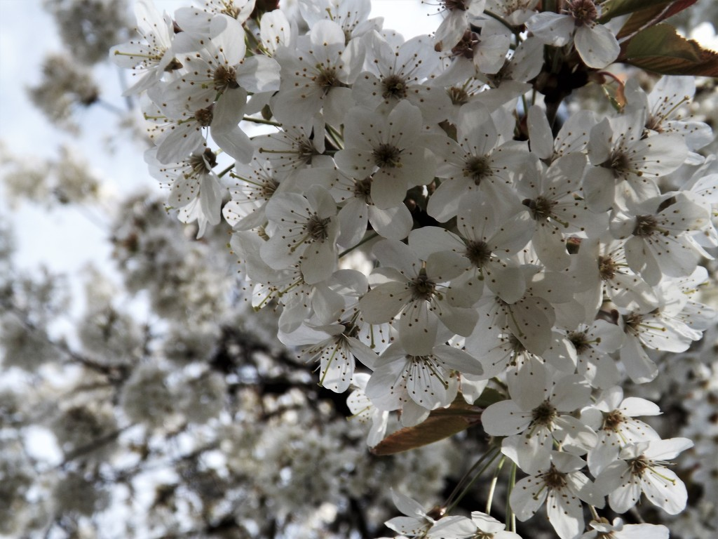 Blossoms by ajisaac