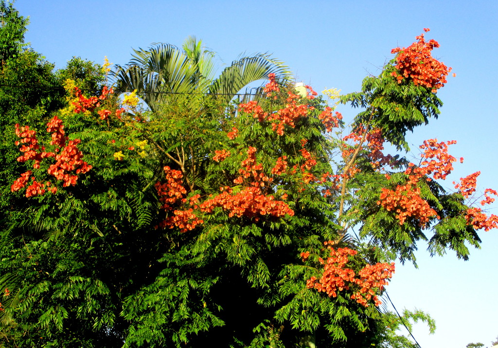 Leaves & flowers of the Golden rain tree(a pest) by 777margo