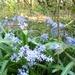 Hidden woodland bluebells
