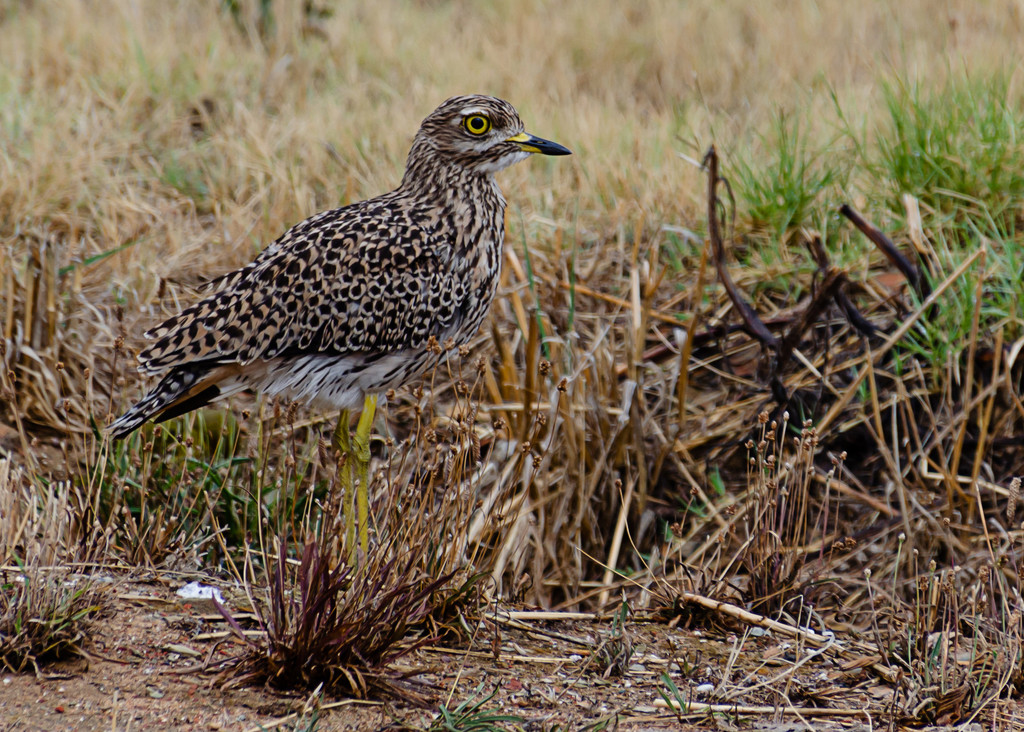 Spotted Thick-knee by salza