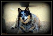 6th Apr 2020 - Roxie just resting.