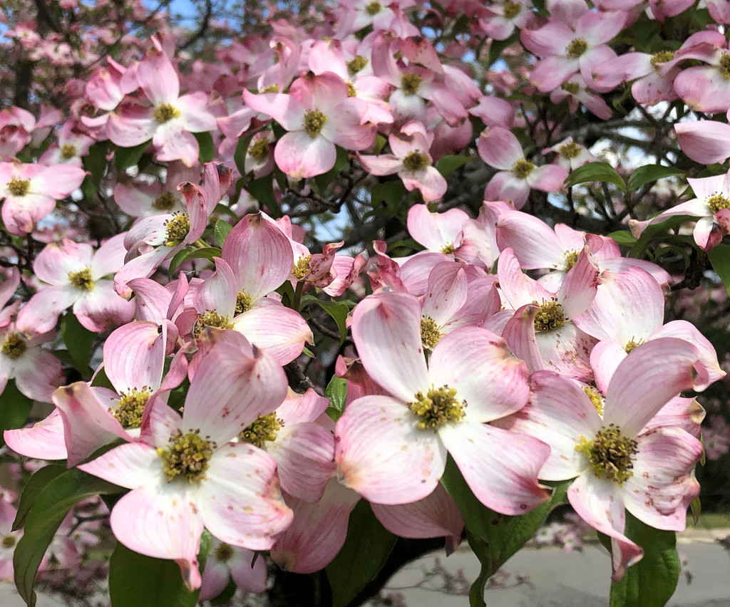 So many pink dogwood flowers by homeschoolmom