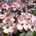 So many pink dogwood flowers