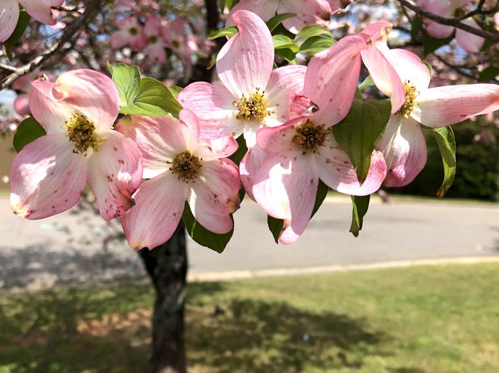 Five pink dogwoods flowers by homeschoolmom