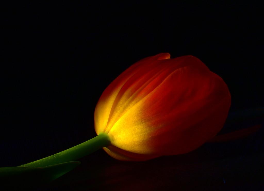 Midnight Tulip by jayberg
