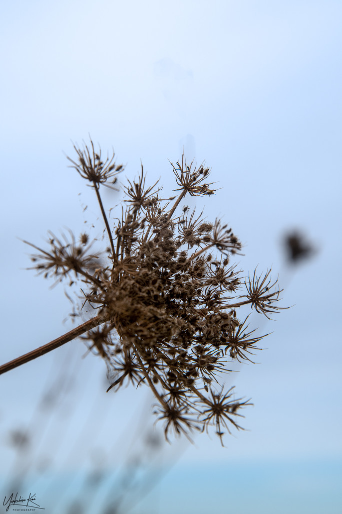 Queen Annes Lace by yorkshirekiwi