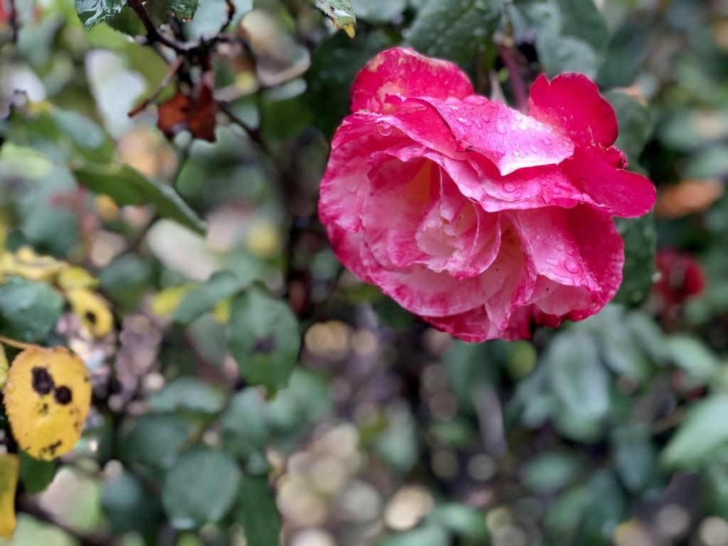 Rainy day rose by loweygrace
