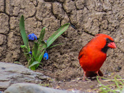 7th Apr 2020 - When Cardinals Appear..
