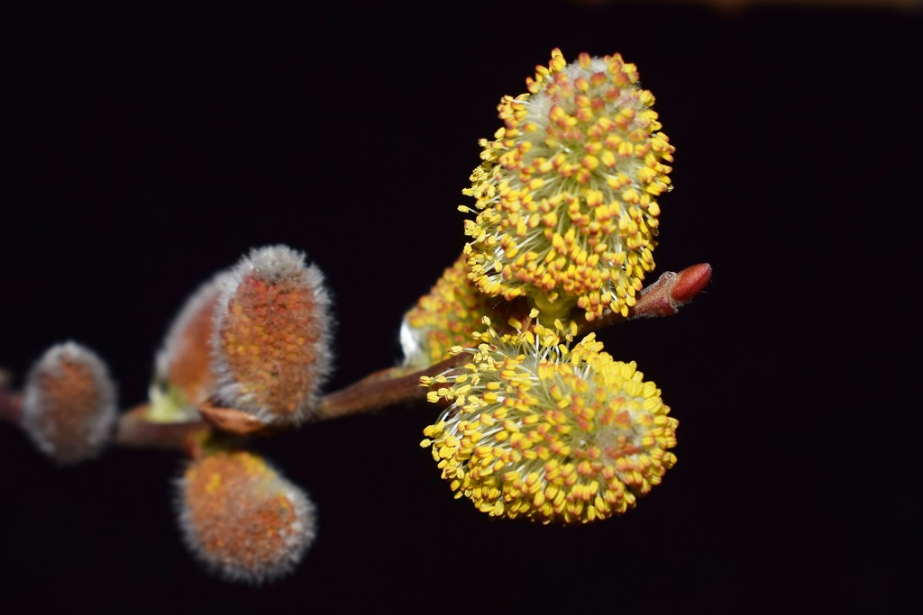 Willow blooms by sandlily