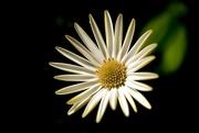 8th Apr 2020 - Daisy