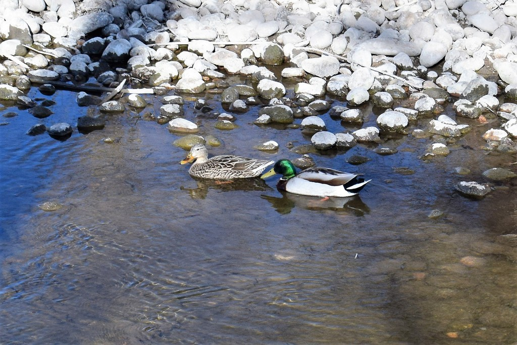 Mallards on the River by sandlily