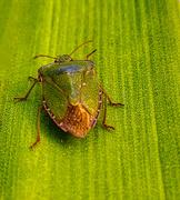 8th Apr 2020 - Stink Bug.
