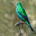 Another Malachite Sunbird