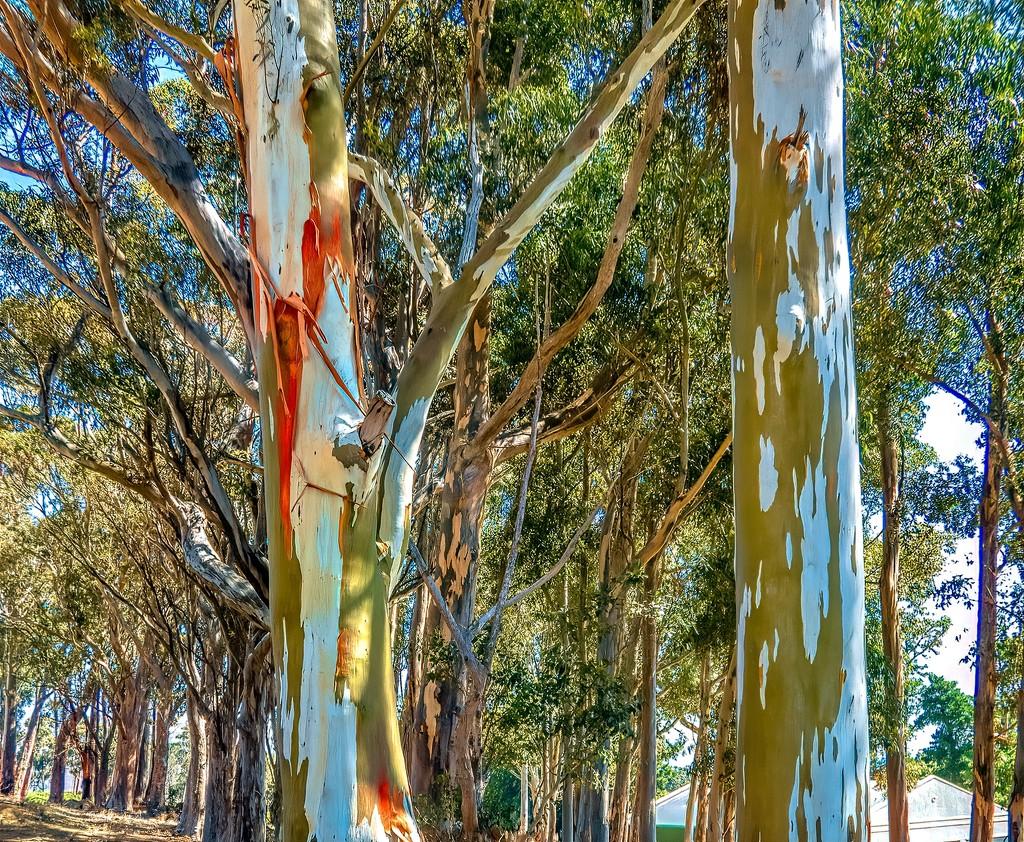Rainbow Gum trees  by ludwigsdiana