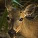 Key Deer Portrait
