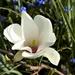 Dwarf Magnolia