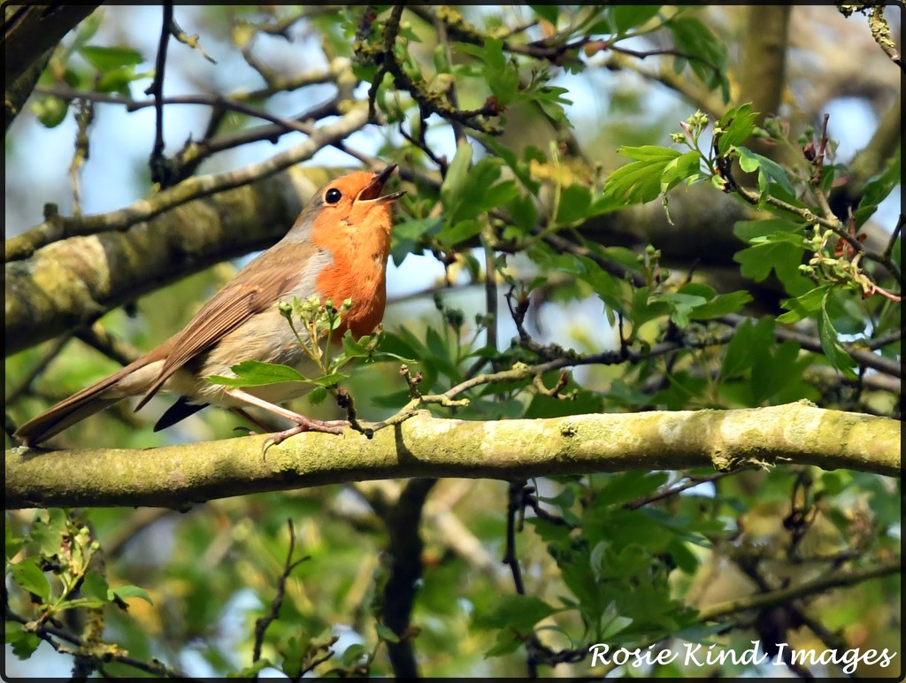 Cycle track robin singing his lovely song by rosiekind