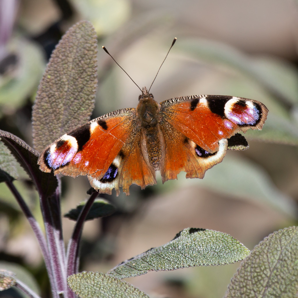 Peacock Butterfly by pamknowler