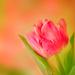 tulip- by jernst1779