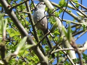 8th Apr 2020 - Long tailed Tit