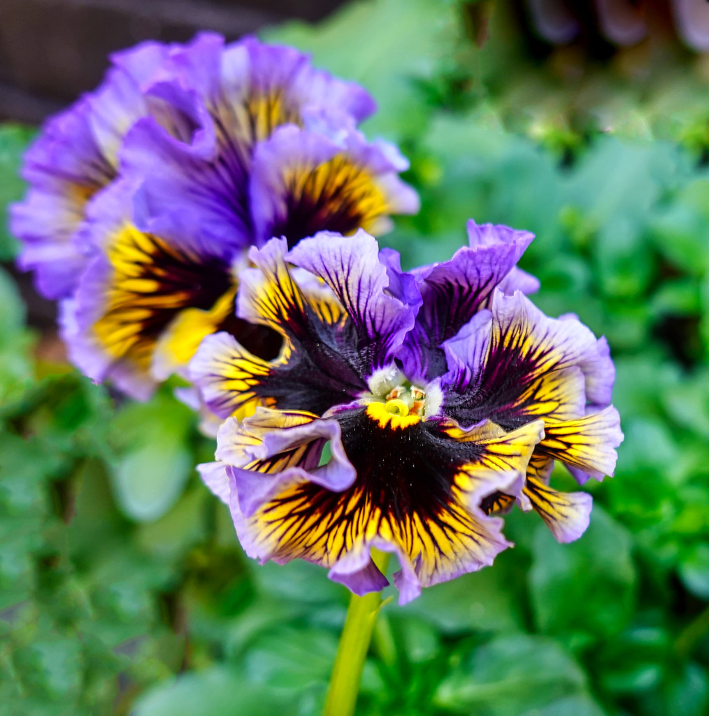 Frilly Pansies by tonygig