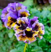 9th Apr 2020 - Frilly Pansies