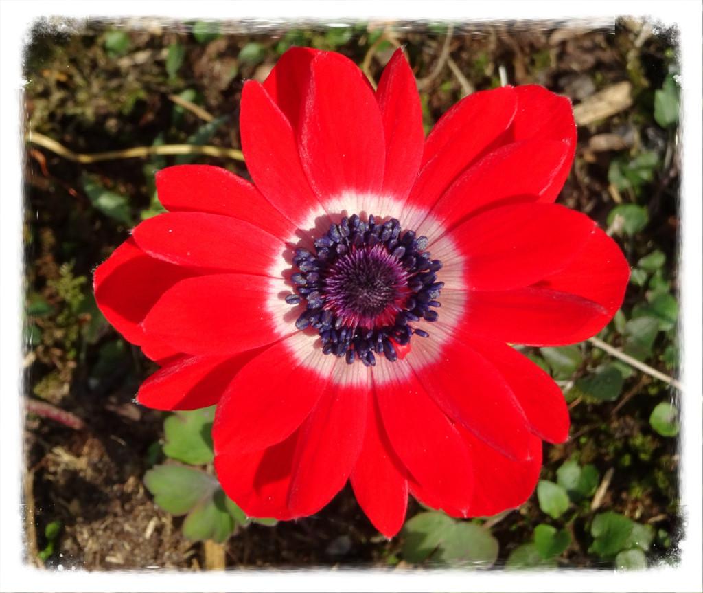 anemone by gijsje