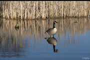 8th Apr 2020 - The Great Canadian Goose
