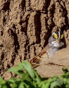 8th Apr 2020 - White Throated Sparrow