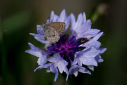 9th Apr 2020 - Cornflower and moth/butterfly