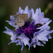 Cornflower and moth/butterfly