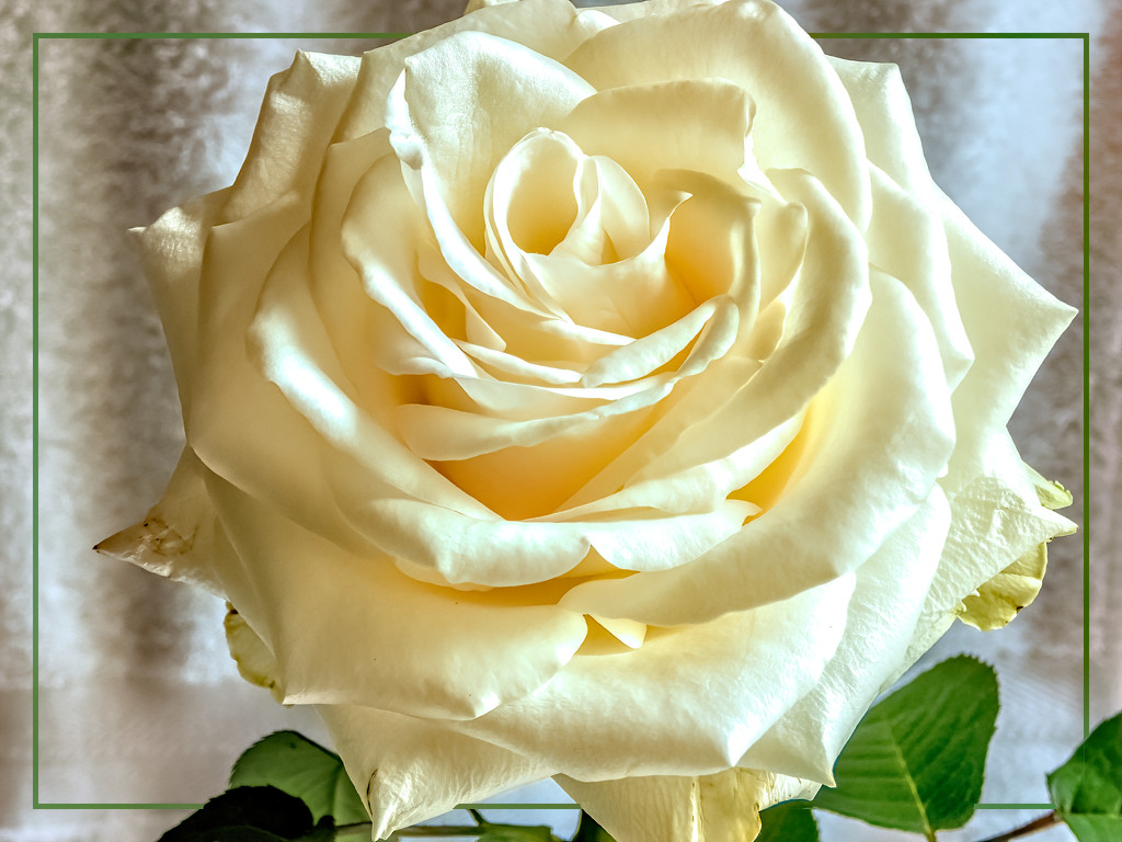 A Rose from my bouquet by ludwigsdiana
