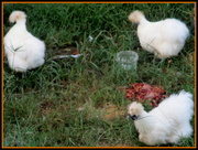 9th Apr 2020 - Some sweet fluffy chickens let to run in a nearby front yard
