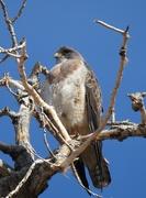 9th Apr 2020 - Hawk