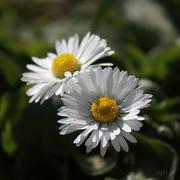 9th Apr 2020 - Daisy