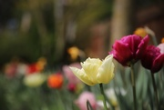 9th Apr 2020 - Tulips (again)