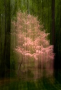 7th Apr 2020 - Pink Dogwood ICM